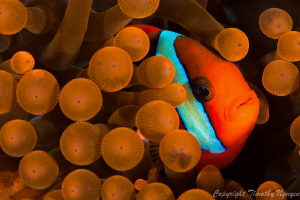 Tomato Clownfish by Timothy Nguyen 